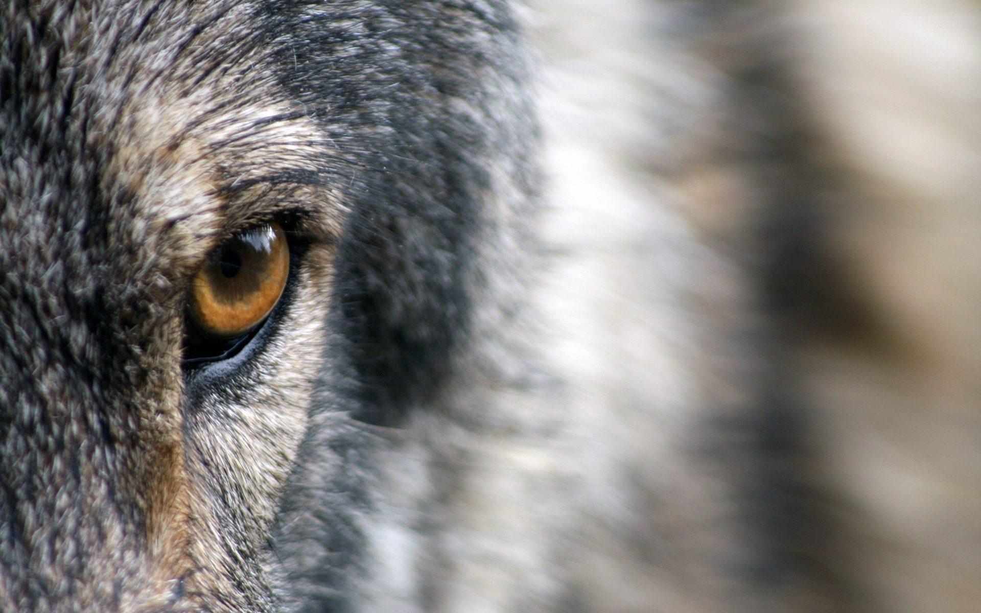 wolf oog